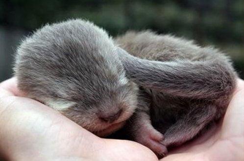 Lutrino recién nacido.